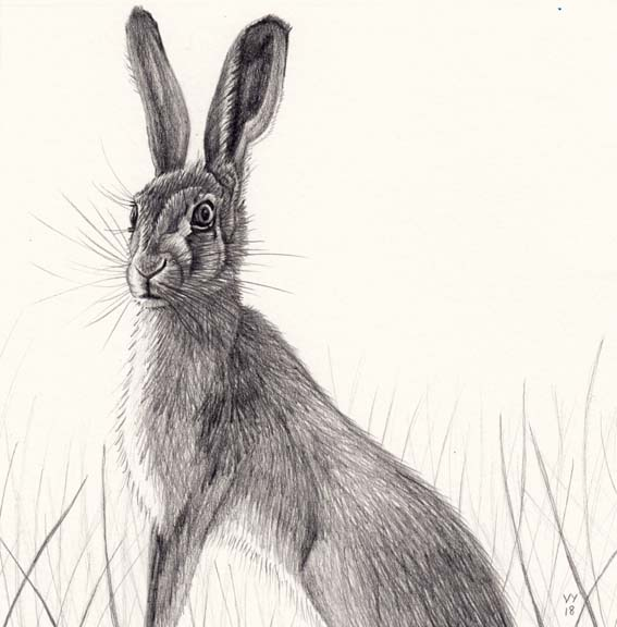 New Hare drawing