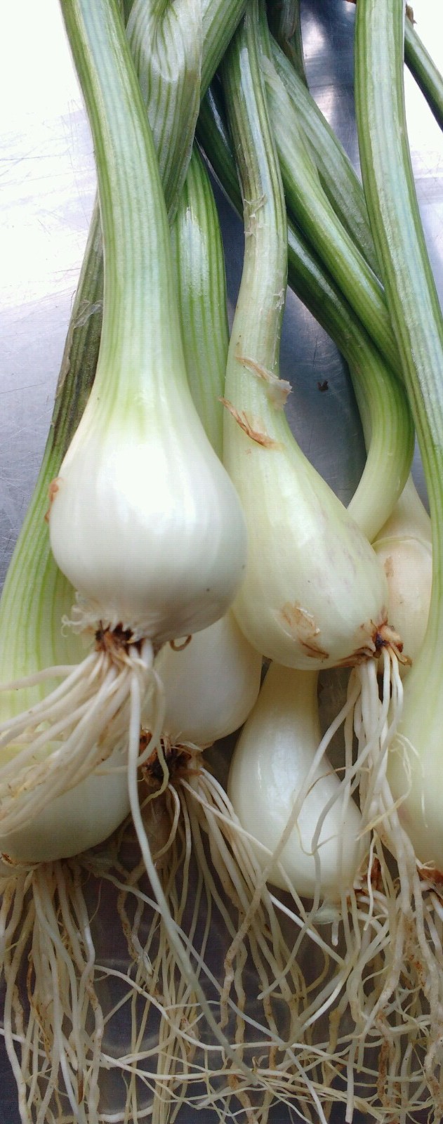 Fresh Griselle Shallots - heritage variety