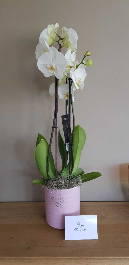 ORCHIDEE 1 WIT 25€ INCL POT