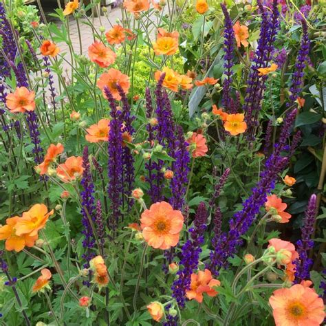 geum and salvia.jpg