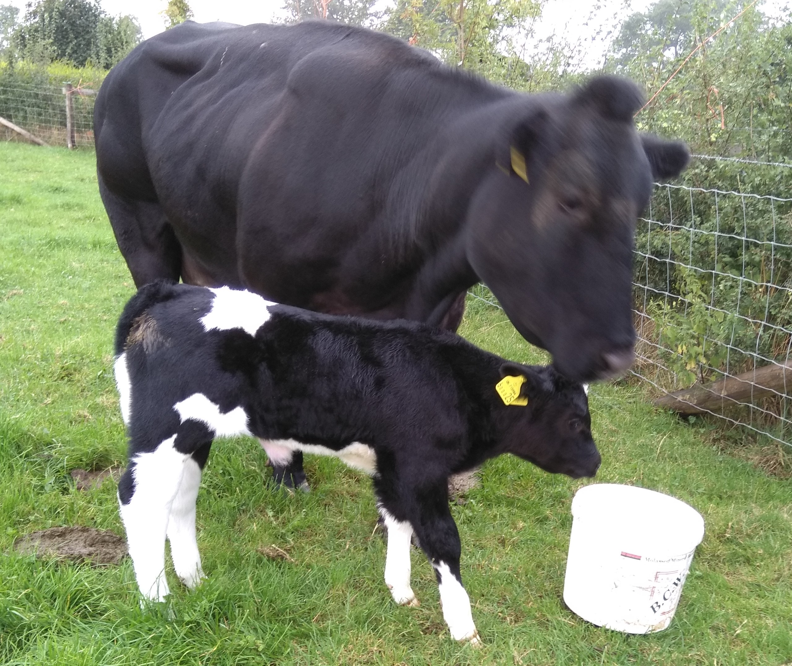 Opal naturally born altough breech 8 Sep out of Kendra by Newclose Colonel 445 Kilos 2jpg