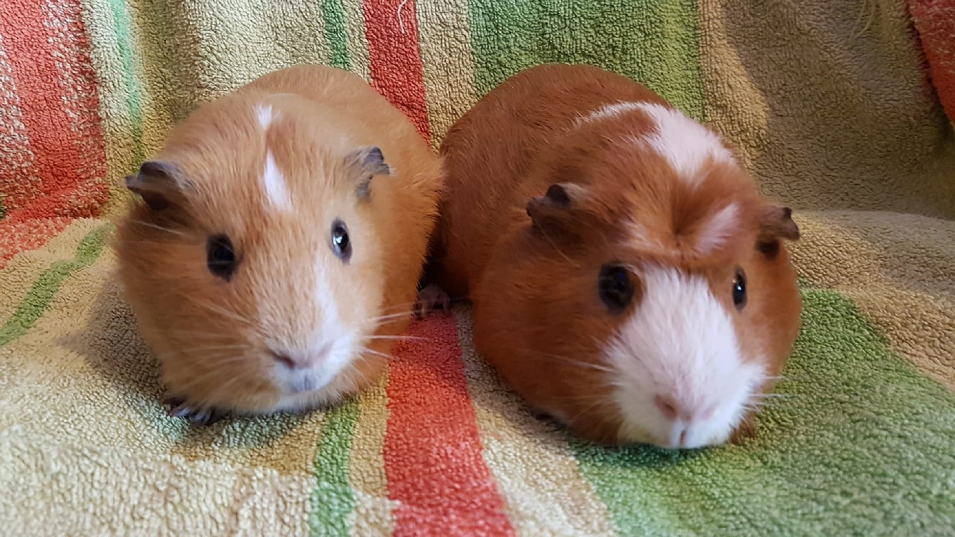 Blondie & Ginger (Steve & Danno) August 27th 2018