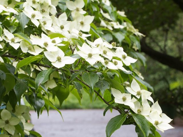 cornus kousa china girl.jpg