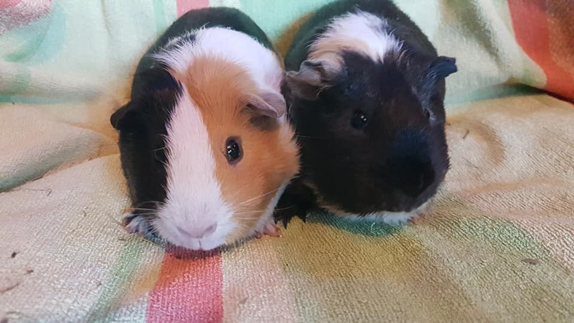 John & Paul (were Cookie & Oreo) Sept. 22nd 2018