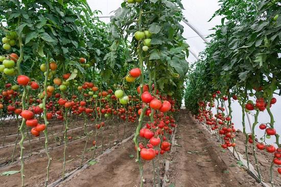 Costruzione serre per pomodori