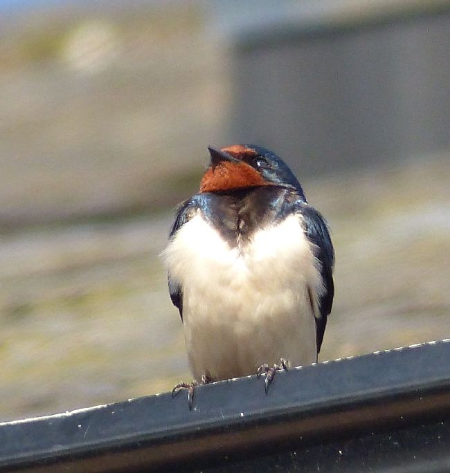 Juvenille Swallow