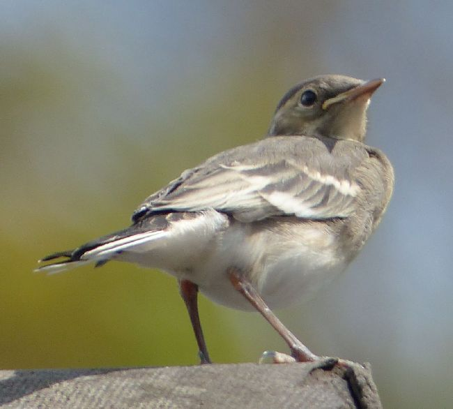 Juvenille Pied Wagtail