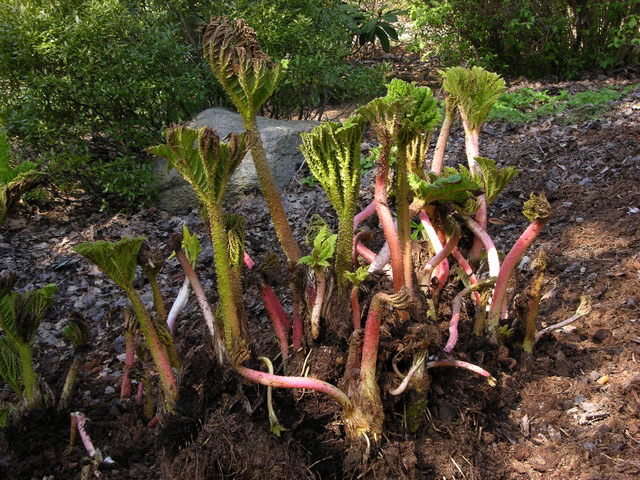Giant Gunnera new growth