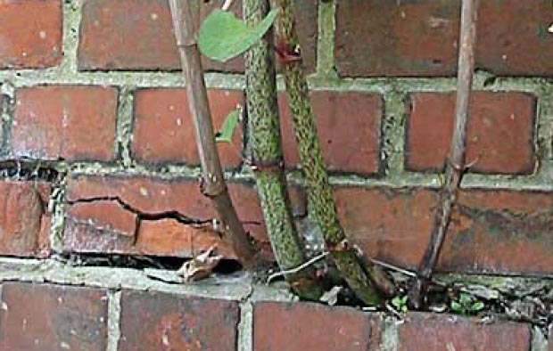 Japanese knotweed brick damage