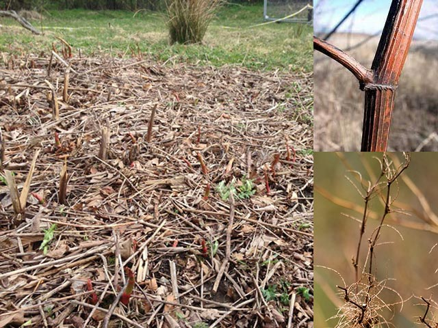 Japanese knotweed canes during winter die back