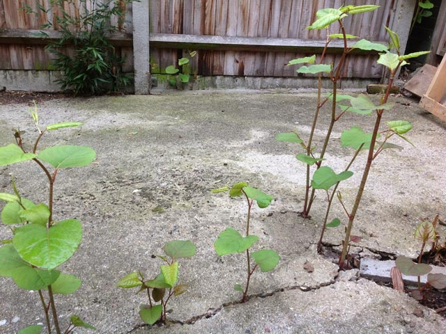 Japanese knotweed paving damage