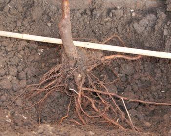 barerootplanting.jpg