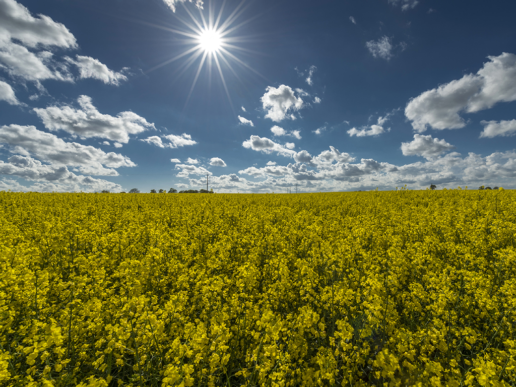 Sunburst over Golden Rapeseed Fields