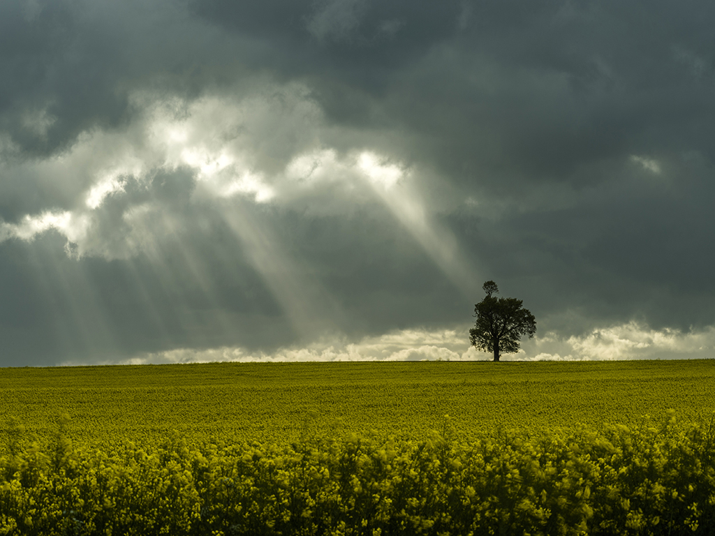 Storm Clouds over Golden Rapeseed Fields