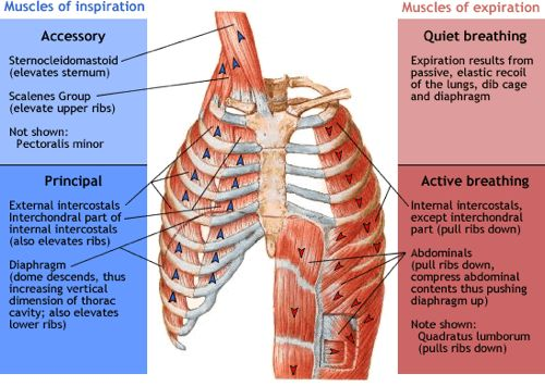 accessorymuscles-of-respirationjpg