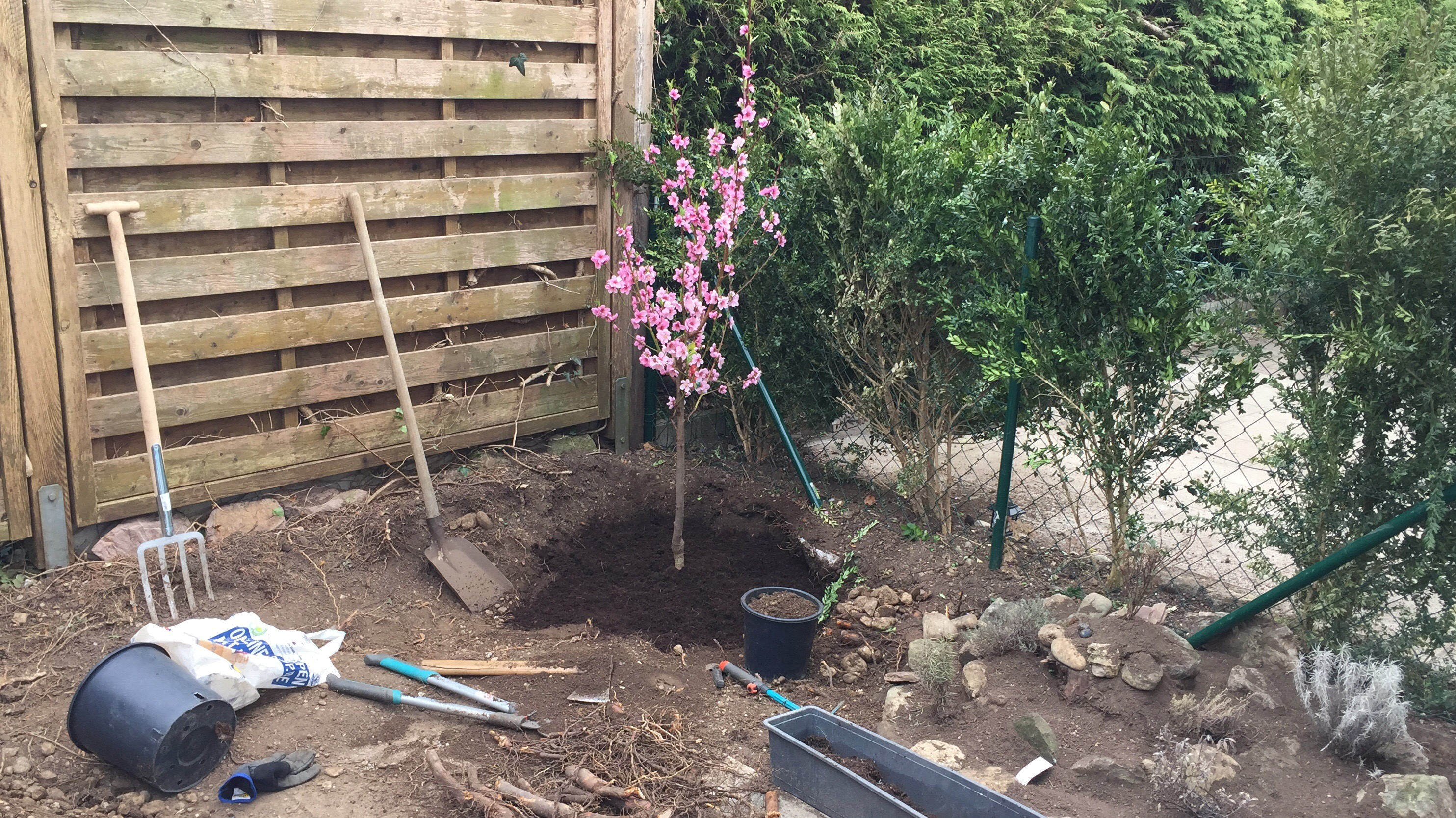 Planting the nectarine Tree in the Herb Garden