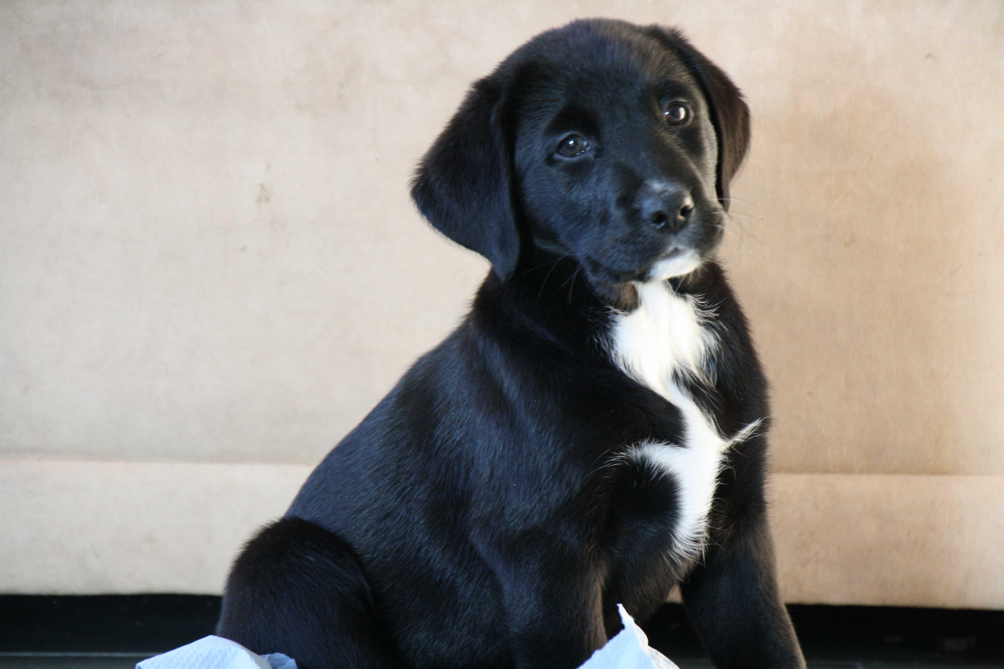 zilveren labrador pups te koop