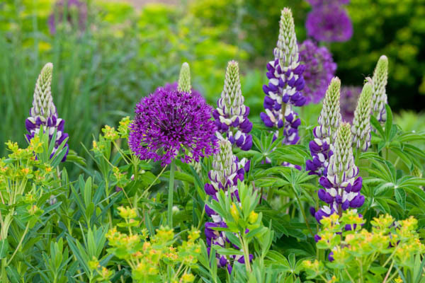 allium and lupins.jpg