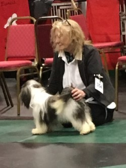 Wyldewyche Machito  winning Puppy Class and being awarded Best Puppy in Breed in his last puppy class