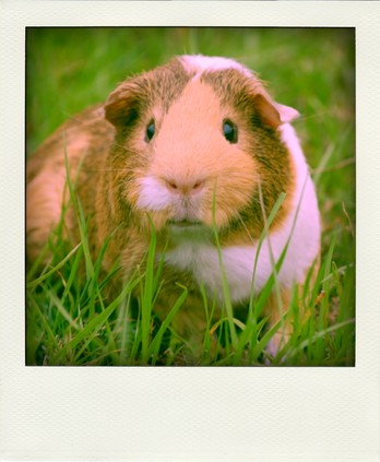Small Animal Pet Service North London Guinea Pig, Hamster, Fish, Cat, Highgate, Crouch End, Muswell Hill, Hornsey