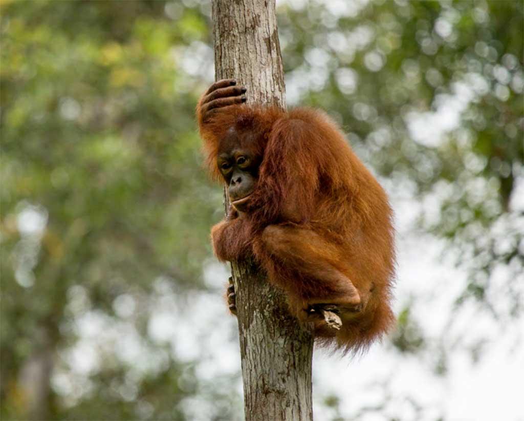 Image of: Sumatran Orangutan Borneos Orangutan Is Now Critically Endangered Save The Orangutan Press Release Borneos Orangutan Is Now Critically Endangered