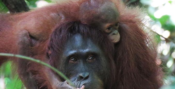 Orangutan Lifespan Save the Orangutan: th...