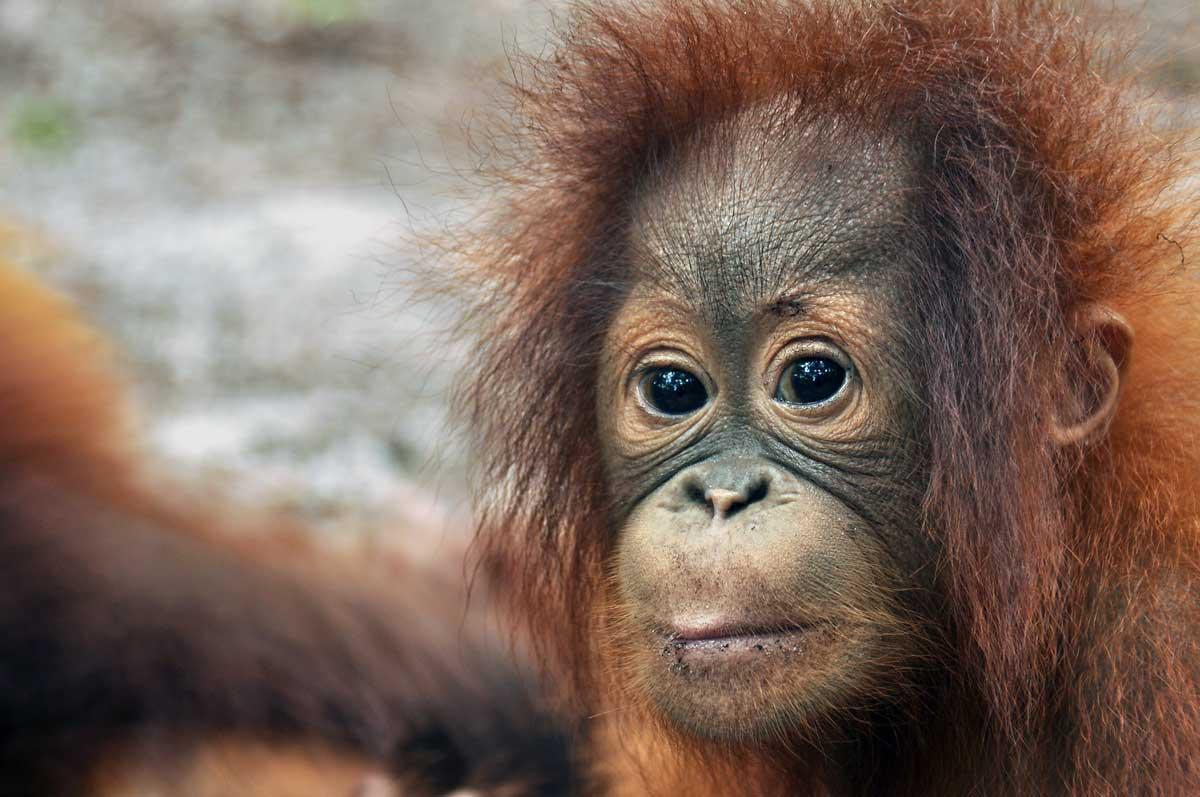 save the orangutan the great red ape