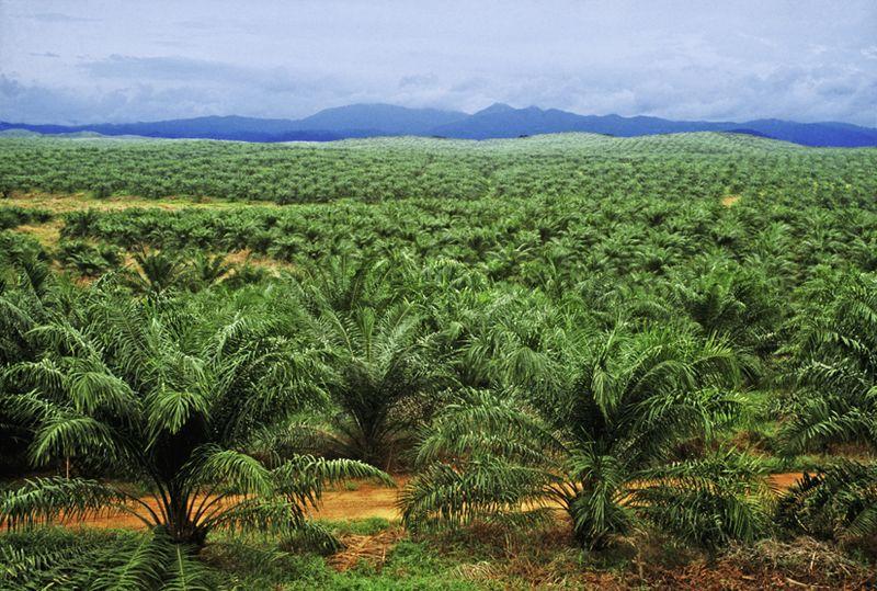 vad använder man palmolja till
