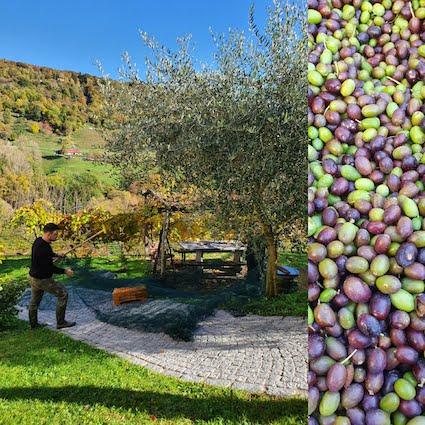 raccolta olive arognojpg