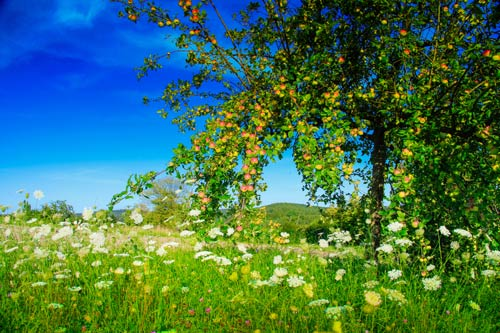 Wild flowers in an Orchard