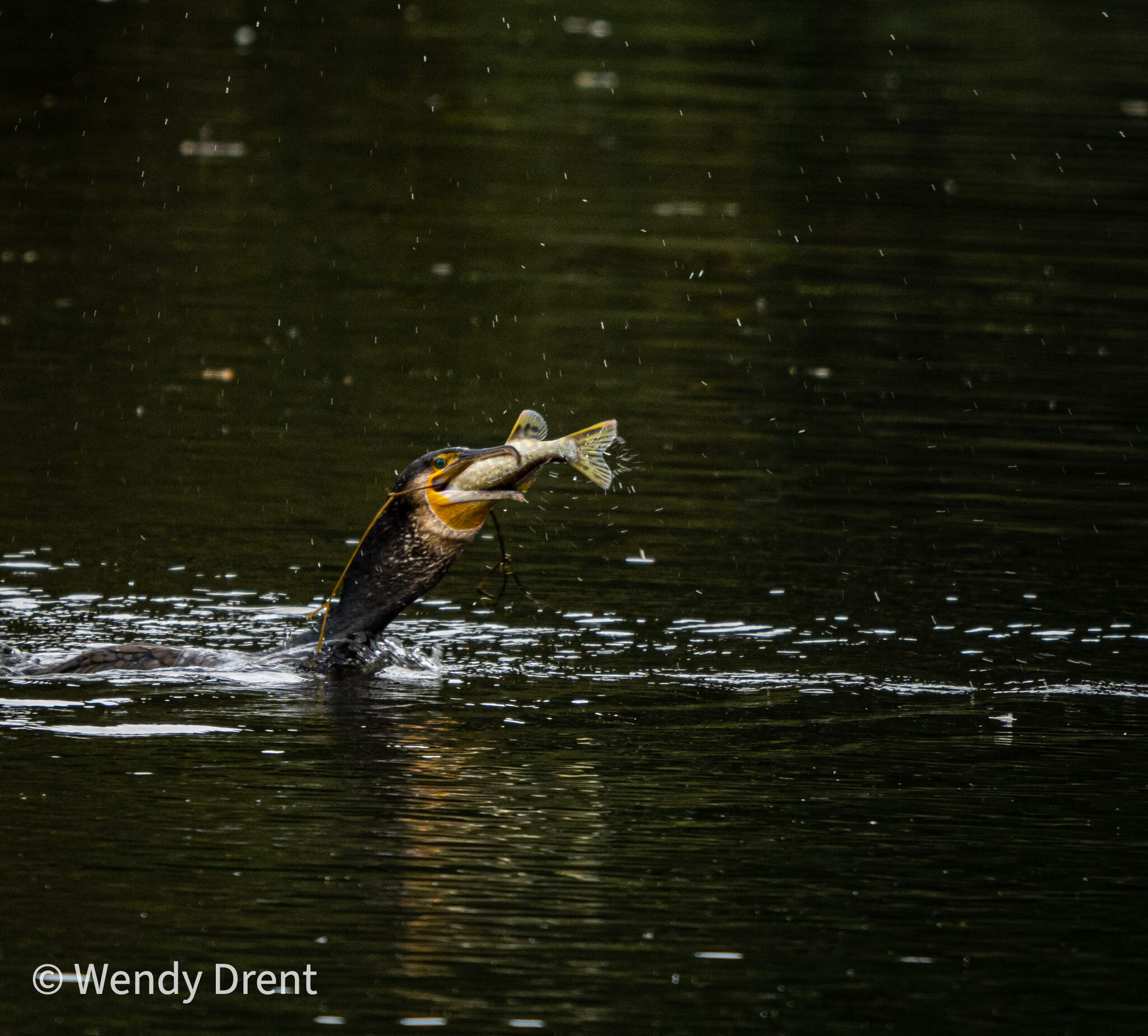 aalscholver, cormorant, Wendy drent, vogels, bird, action photography, bird with prey, water, fish, low key, naturephotography