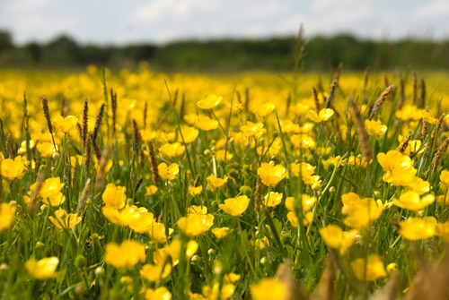 "Alt=""field of buttercups"""