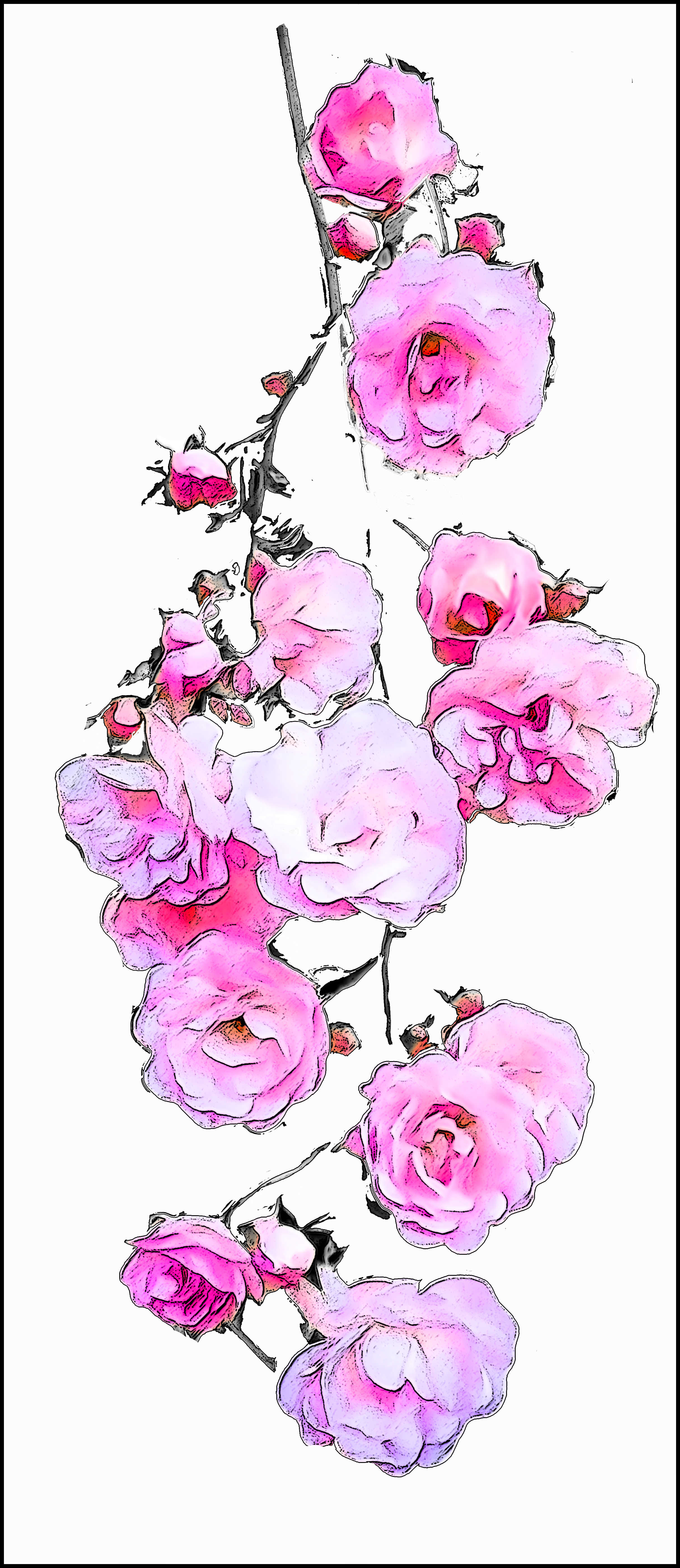 Hanging delightful pink roses A3+ on Hot Press paper £45