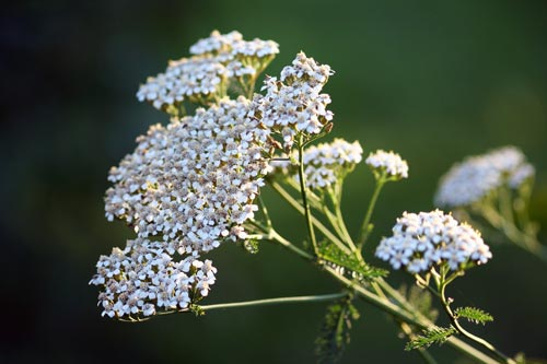 "Alt="" Yarrow Flower Close Up"""