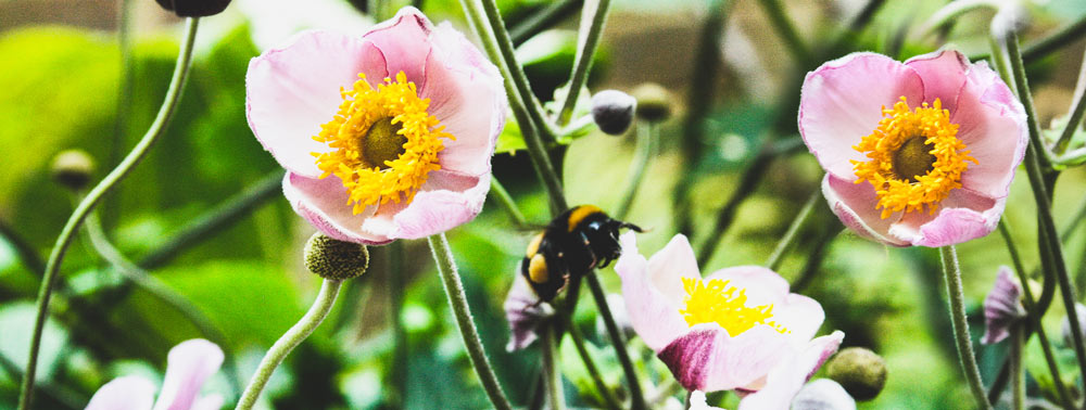 Pink anemones with bee