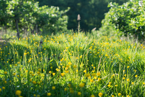 Buttercups in a field with fruit trees