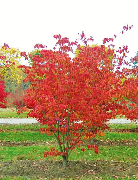 cornus kousa autumn colour.jpg