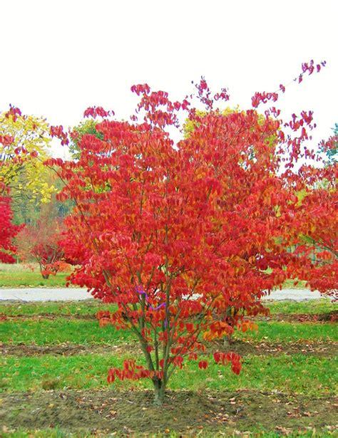 cornus kousa autumn colour.jpg