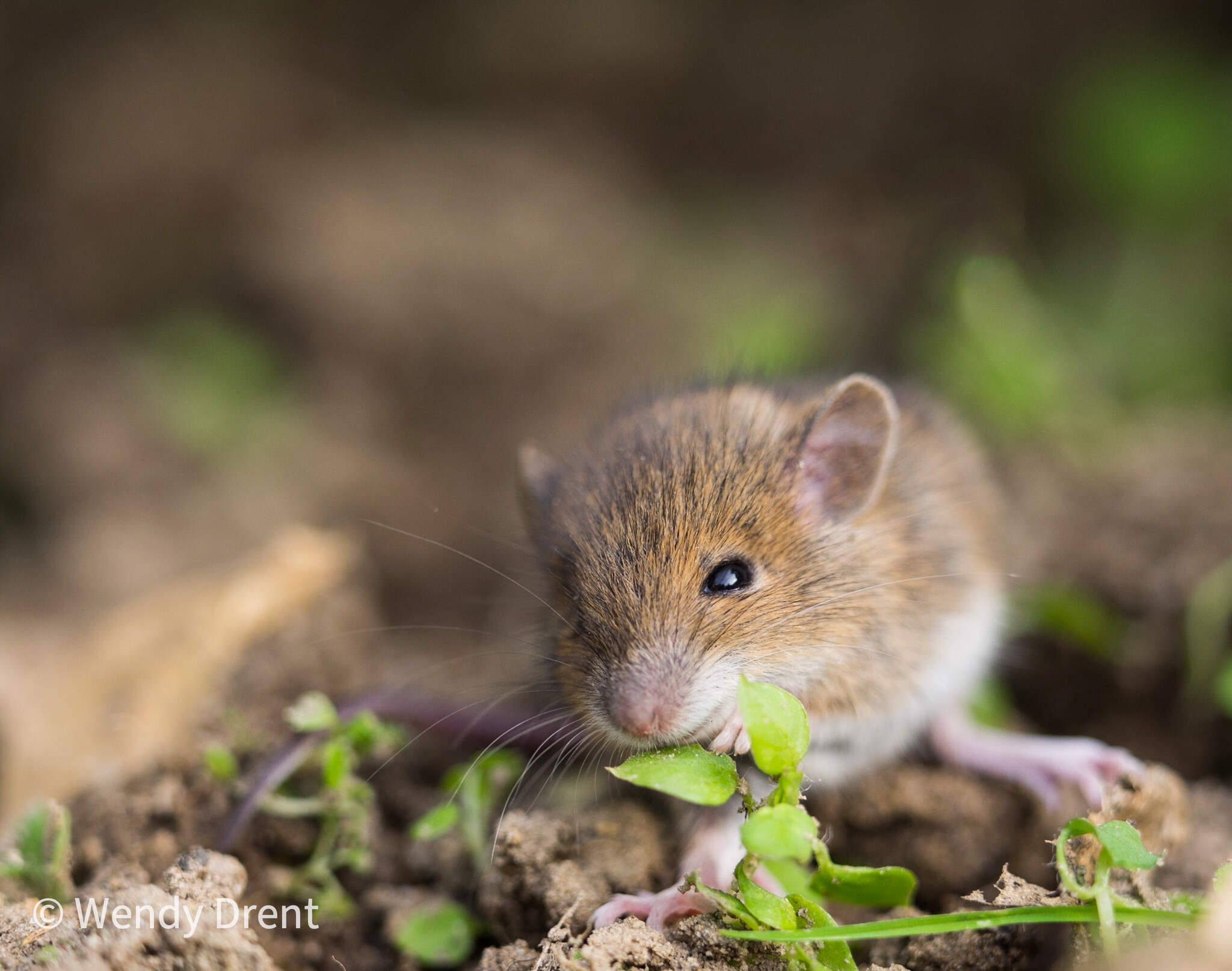 mouse, muis, wendy drent, zoogdier, cute animal, naturephotography, olympusomd