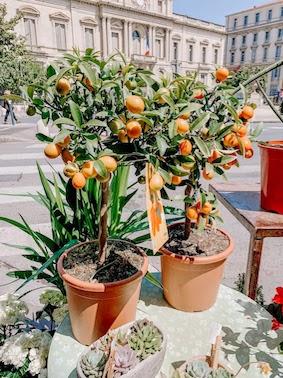Kumquat Siciliajpg