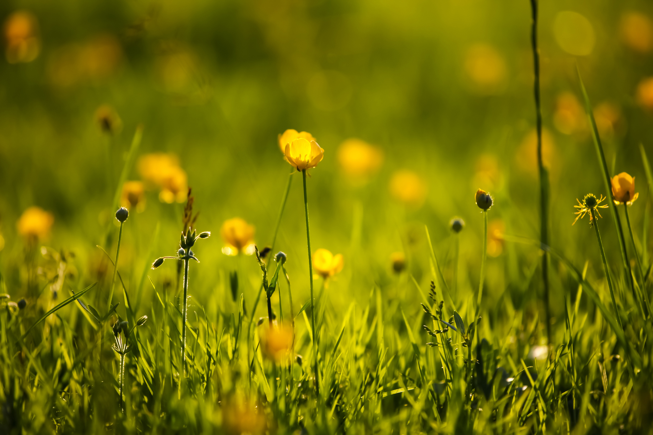 germany-buttercup-flower-close-upjpg
