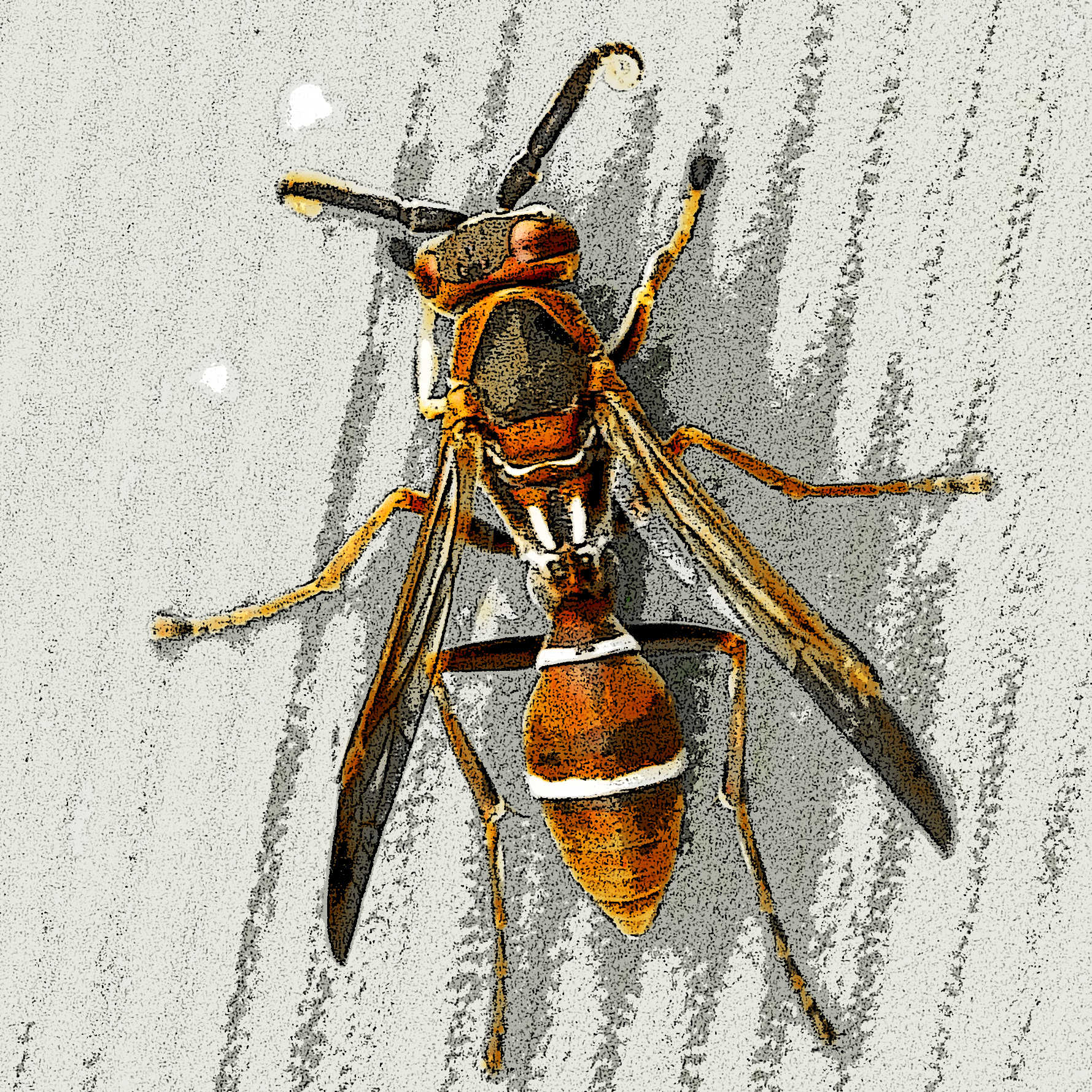 This wasp was 'captured' in Plattenberg Bay, South Africa.