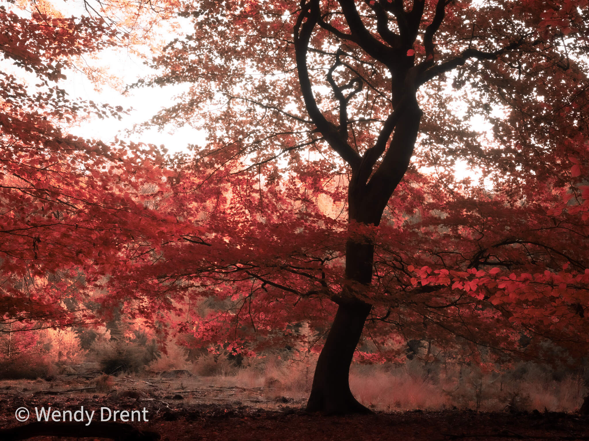 autum, tree, forest, abstract, wendy drent, olympus, landscape, tree, red leaves, art, painting with light, leudal, limburg, netherlands