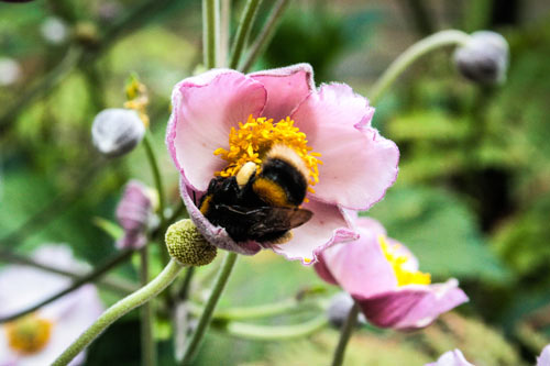 Bee harvesting nectar in an Anemone