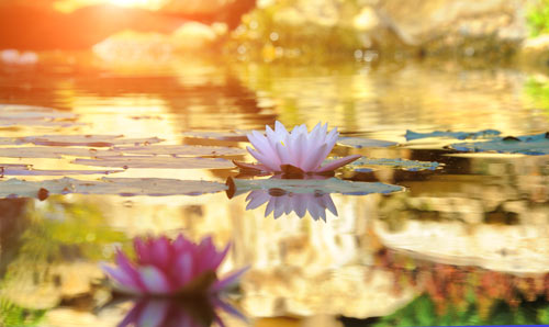 water lily on pond with reflection