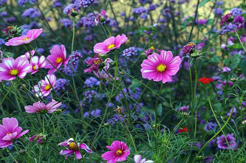 Cosmos and Verbena