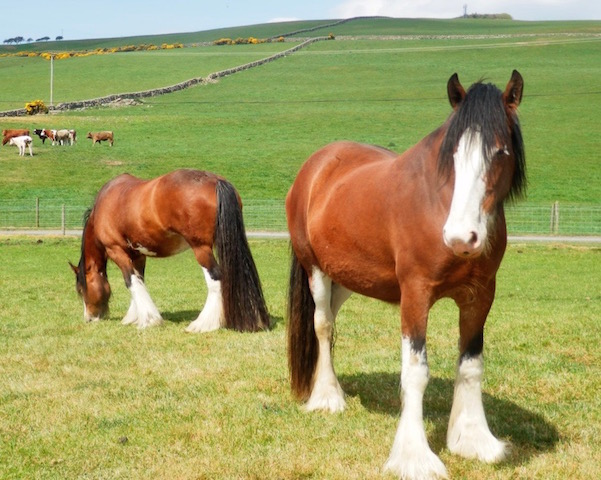 Clydesdale horses around East Challoch Farm