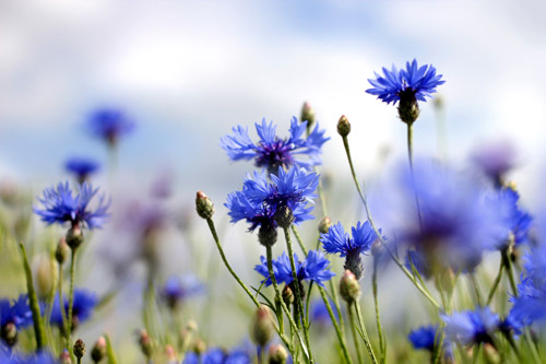 "Alt=""Cornflowers in a meadow"""