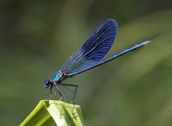 blue_damselfly_byjpg