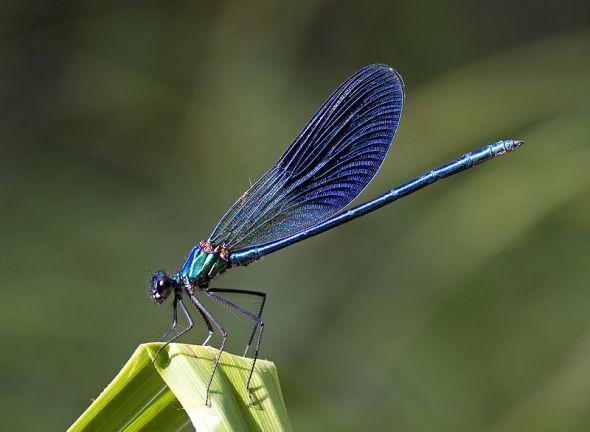 blue_damselfly_byjpg